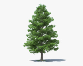 3D model of Bald Cypress