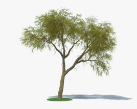 3D model of Acacia Estrophiolata