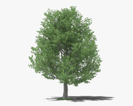 3D model of Shingle Oak