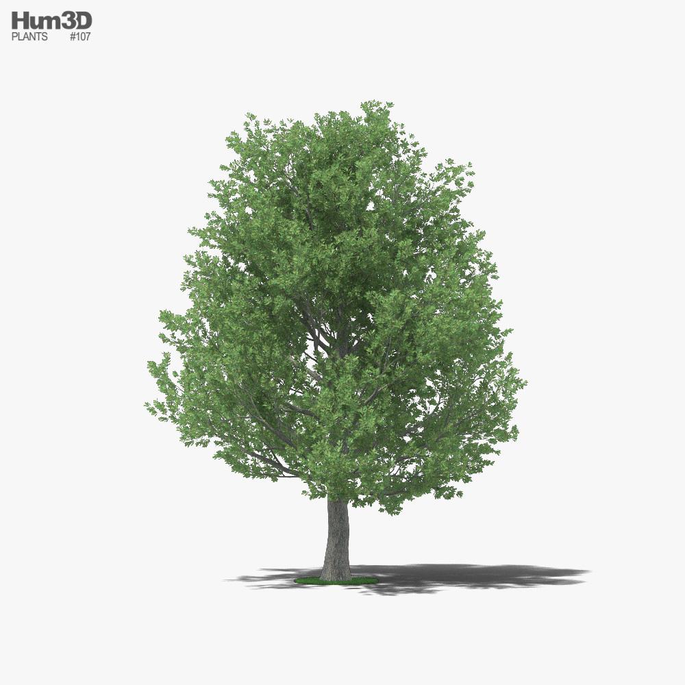 3D model of Shingle Oak