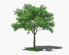 3D model of Japanese Pagoda Tree