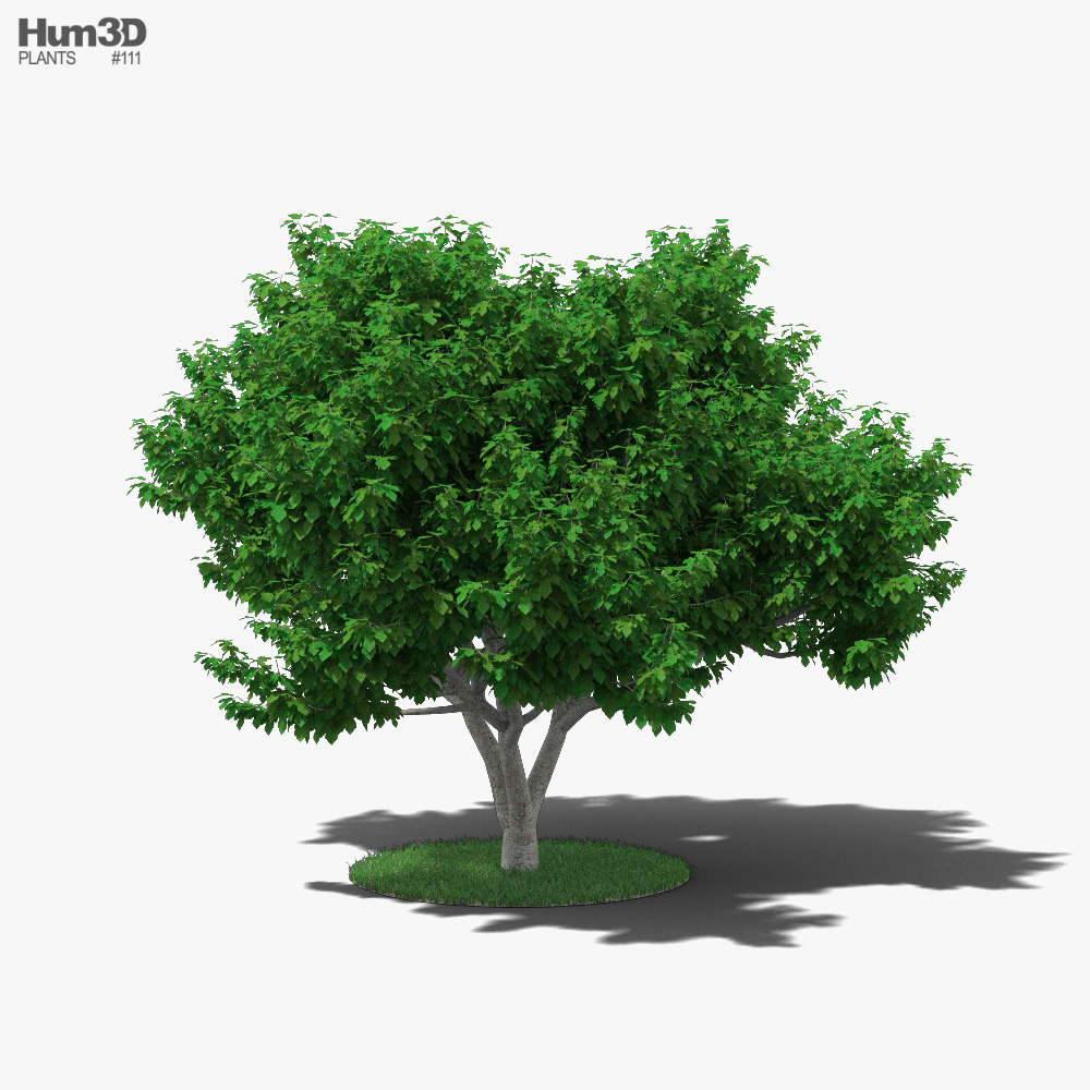 3D model of Fig Tree