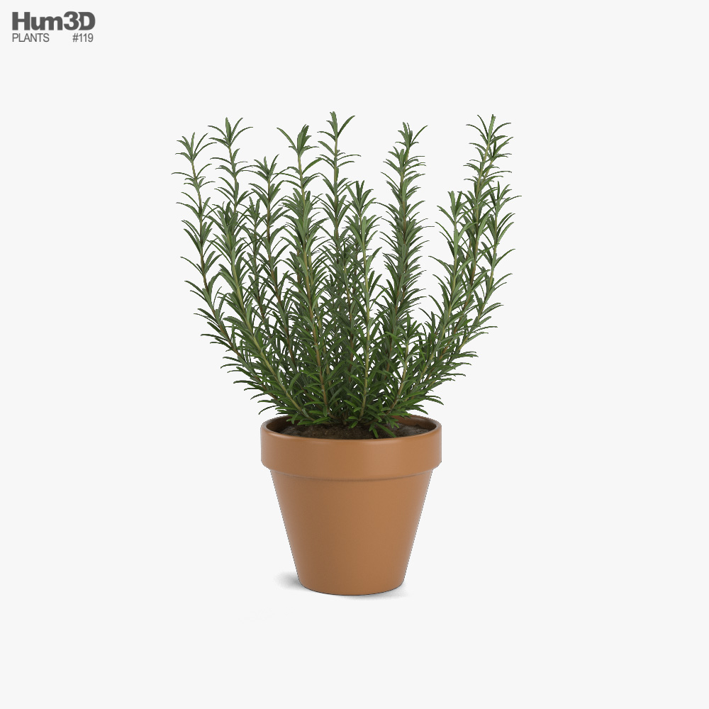 Growing Rosemary 3D model