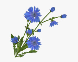 3D model of Chicory