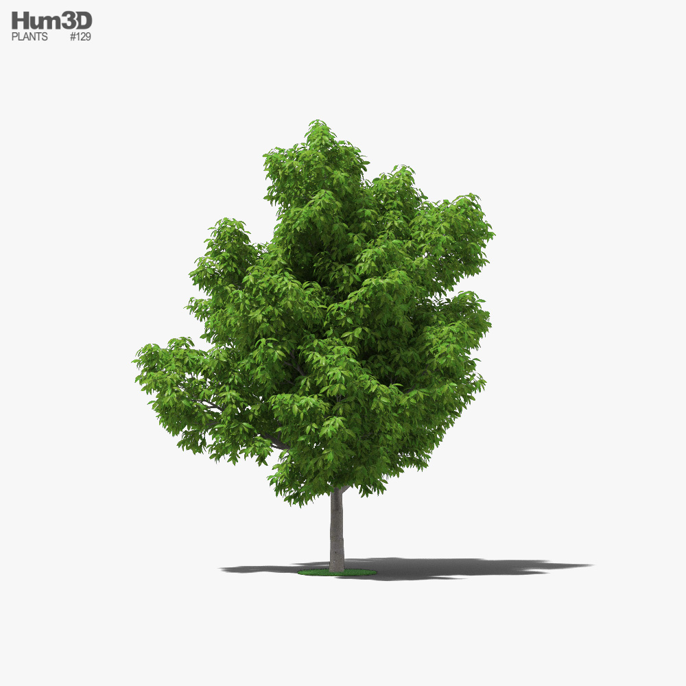 Avocado Tree 3D model