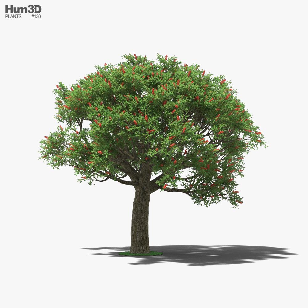 Cockspur coral tree 3D model