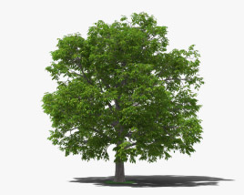 3D model of Walnut Tree