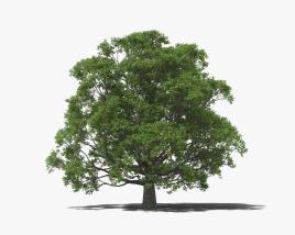 English Oak Tree 3D model