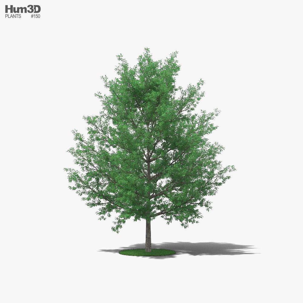 Pin Oak 3D model