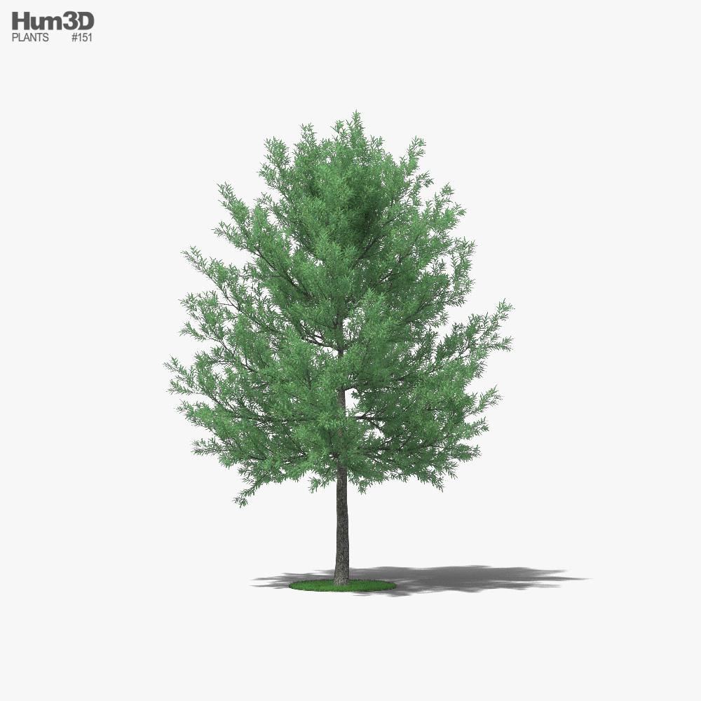 Willow Oak 3D model